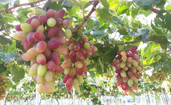 Nông dân Ninh Thuận thu nhập tốt từ nho 3 màu