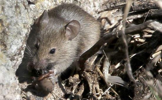 Kế hoạch diệt chuột gây tranh cãi ở Mỹ