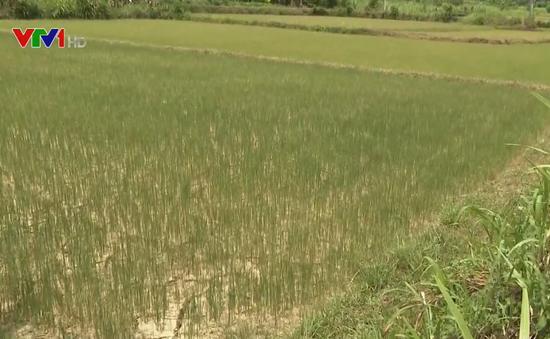Vụ lúa Hè Thu ở các tỉnh miền Trung thiếu nước nghiêm trọng do hạn hán