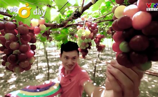 Trải nghiệm ở vùng nho bạt ngàn của Ninh Thuận