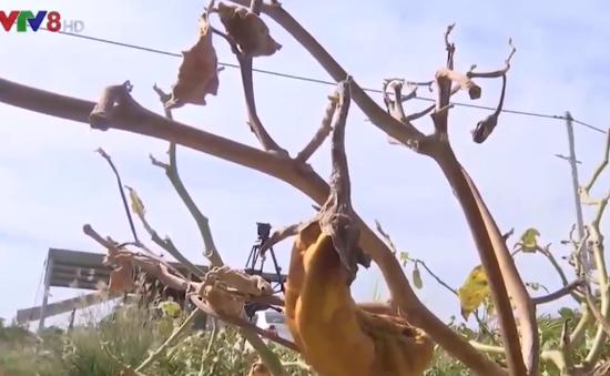Vùng chuyên canh rau Đà Nẵng gặp khó khăn do xâm nhập mặn