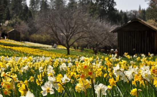 Vì quá nổi tiếng, cánh đồng hoa oải hương đẹp như mơ bị đóng cửa