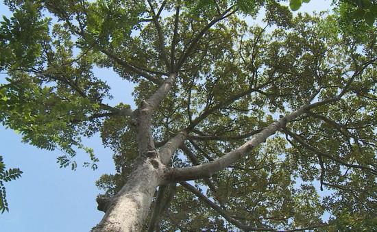 Độc lạ cây sầu riêng hơn 100 tuổi
