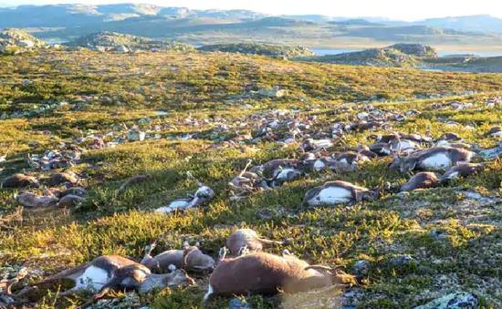Tuần lộc tại Na Uy chết nhiều chưa từng có vì thiếu thức ăn