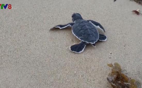 Bảo tồn rùa biển tại khu dự trữ sinh quyển thế giới Cù Lao Chàm