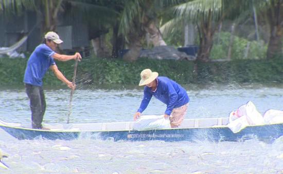 Giá cá tra giống xuống thấp khiến người nuôi thua lỗ