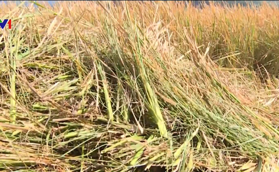 Cạn kiệt nước sản xuất, nhiều hộ dân cắt bỏ lúa cho bò