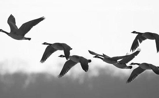 Chim trời - Hiểm họa của ngành hàng không