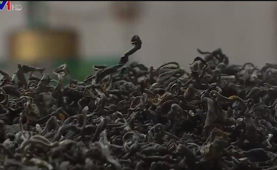 Chè hữu cơ Shan tuyết (Lào Cai) - Mặt hàng xuất khẩu triển vọng