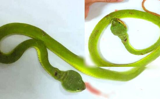 Kịp thời cấp cứu bệnh nhân bị rắn lục đuôi đỏ cắn