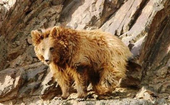 Thế giới chỉ còn 36 con gấu Gobi do thiếu thốn nguồn thức ăn