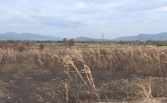 Nỗi lo mía cháy của người dân Ninh Hòa, Khánh Hòa