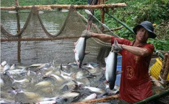 Tìm giải pháp tháo gỡ khó khăn cho ngành cá tra