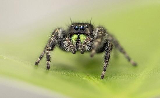 Thị lực của nhện nhảy sơ sinh phi thường đến mức nào?