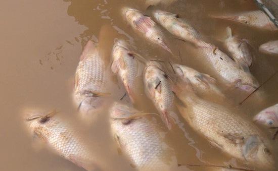 70 tấn cá sắp thu hoạch ở TT-Huế chết trắng lồng