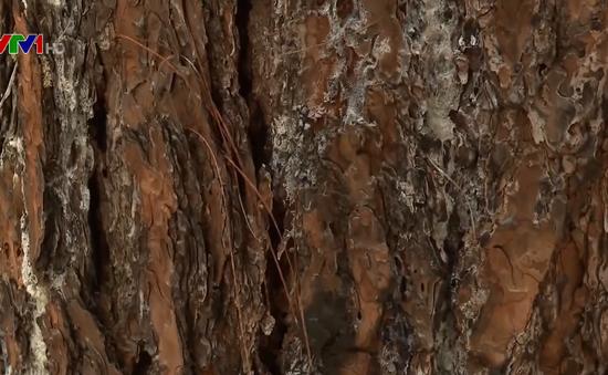 Đắk Nông: Rừng thông tiếp tục bị đầu độc