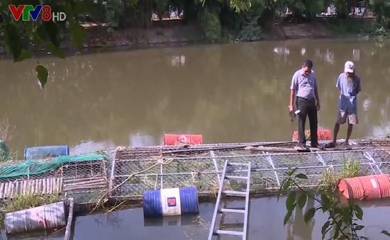Huế: Nhiều  rủi ro khi nuôi cá lồng mùa lũ