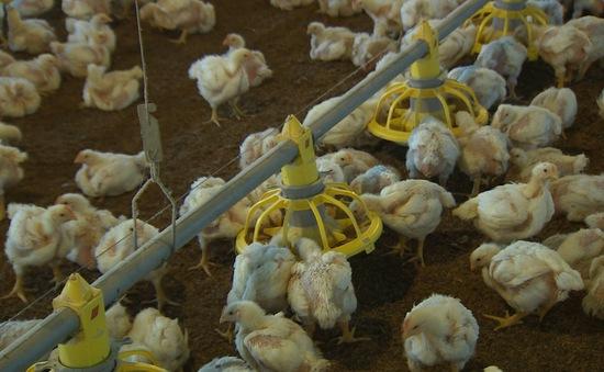 Chăn nuôi 4.0 để tăng tính cạnh tranh với sản phẩm nhập khẩu giá rẻ