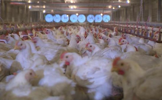 Giá gà ở các tỉnh Đông Nam Bộ thấp kỷ lục