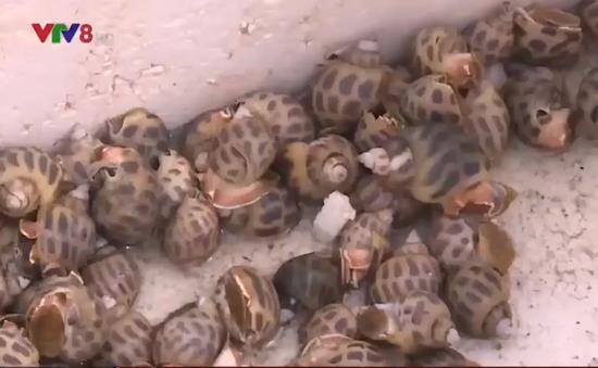 Thừa Thiên Huế nuôi thành công ốc hương trên cát