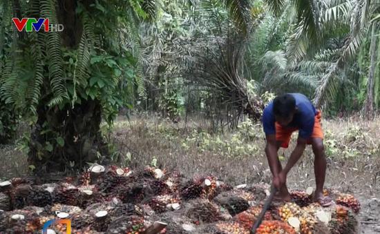 Đốt rừng trồng cọ dầu - Nguyên nhân gây cháy rừng hàng loạt ở Indonesia