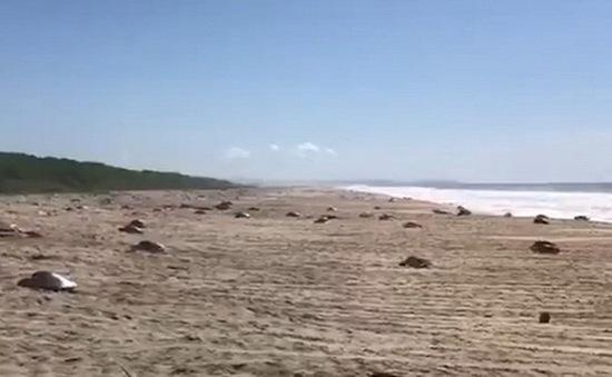 Hàng trăm con rùa xanh quý hiếm chết vì thủy triều đỏ