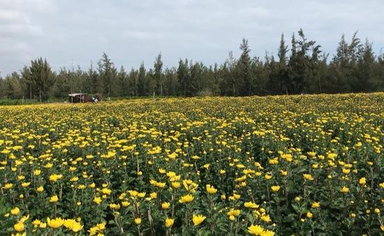 Nhà vườn Phú Yên phấn khởi vì hoa nở trúng Tết
