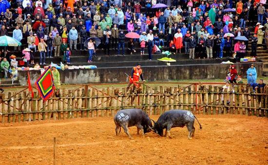 Ngừng tổ chức Lễ hội chọi trâu Phù Ninh 2020 vì lo ngại virus Corona