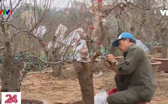 Người dân làng đào tất bật chuẩn bị đón Tết