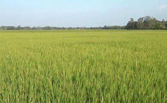 Hàng nghìn ha lúa tại Cà Mau thiếu nước tưới
