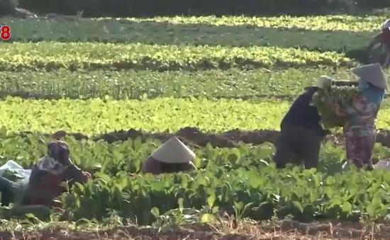 Quảng Ngãi: Rau xanh rớt giá, làng rau thất thu vụ Tết