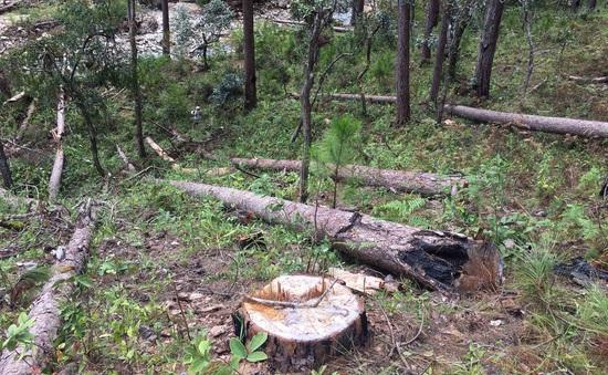 Phó Thủ tướng yêu cầu xử lý nghiêm vụ phá rừng thông cổ thụ ở Lâm Đồng