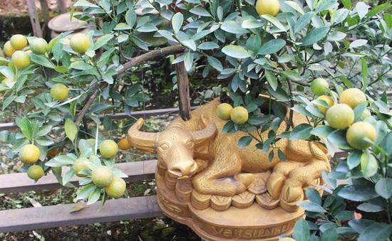 """Trâu vàng """"cõng"""" quất bonsai hút khách sành chơi, giá chục triệu đồng"""