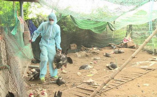 4 tỉnh, thành xuất hiện dịch cúm gia cầm A/H5N6