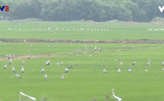 Quảng Trị: Nhiều đàn chim cò nhạn xuất hiện