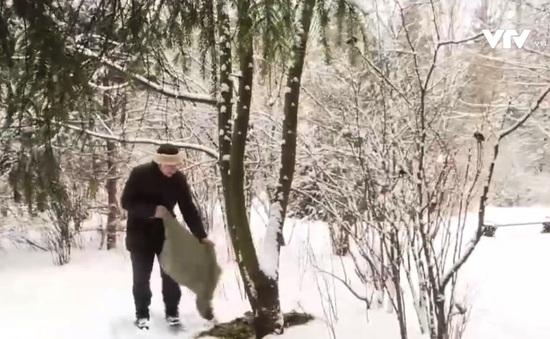 Vòng tuần hoàn của cây thông năm mới ở Nga