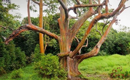 """Gia tăng du khách tới Hawaii ngắm """"cầu vồng trên cây"""""""