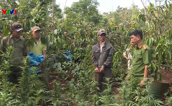 Phát hiện vụ trồng gần 1.200 cây cần sa trồng trong rẫy cà phê