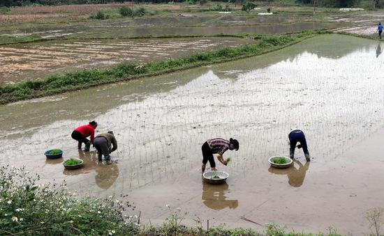 Vụ cấy lúa Xuân tiết kiệm hàng tỷ m3 nước