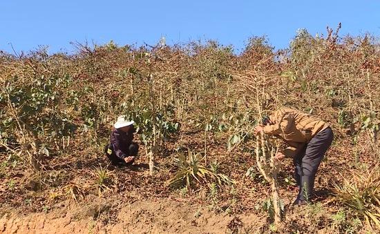 Vùng cà phê Lâm Đồng bị thiệt hại nặng do sương muối
