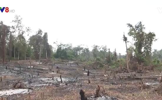 Tìm giải pháp giữ rừng căm xe Ninh Hòa