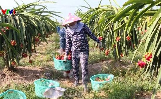 Nhiều giải pháp tiêu thụ thanh long cho nông dân