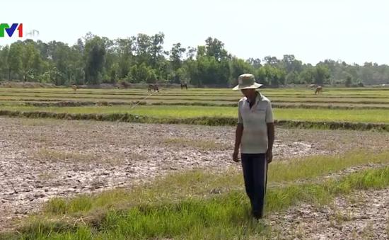 Hàng nghìn ha lúa tại Trà Vinh bị chết khô
