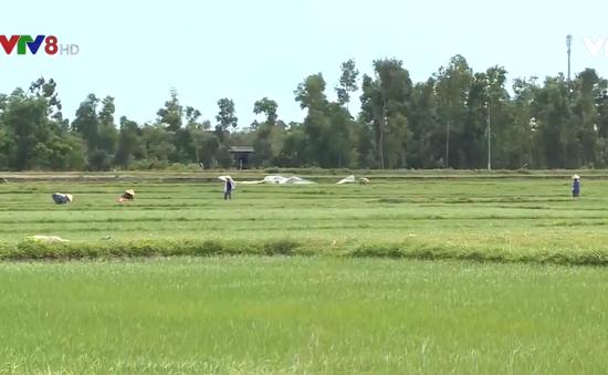 Hà Tĩnh hàng trăm ha lúa bị bệnh đạo ôn