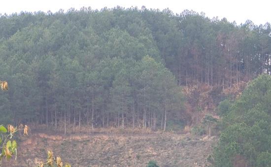 Các giải pháp bảo vệ rừng thông tại Lâm Đồng