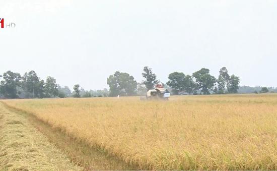 Nông dân đồng bằng sông Cửu Long được mùa lúa dù hạn mặn gay gắt