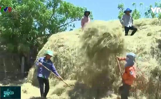 Người chăn nuôi gia súc tại Nam Trung bộ trữ rơm để vượt hạn