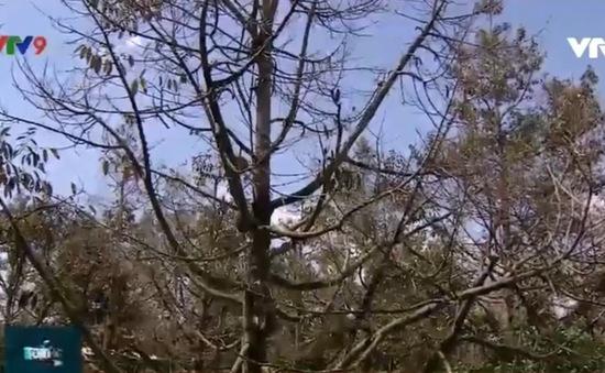 ĐBSCL: Vườn cây ăn trái thiệt hại nặng vì hạn mặn