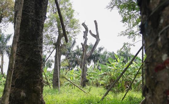 Số phận của hàng cây trên đường Kim Mã giờ ra sao?