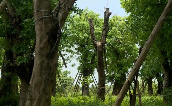 Đánh chuyển hơn 100 cây xanh trên đường Kim Mã: Cứ thế là... xong?